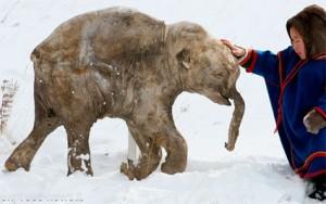 Lyuba, il cucciolo di mammut.